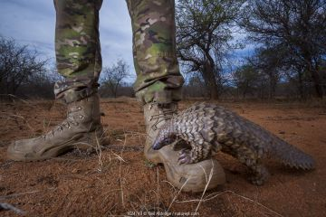 Orphaned Temminck's ground pangolin (Smutsia temminckii) climbs on to the boot of an anti-poaching guard while foraging during rehabilitation at the Rhino Revolution facility in South Africa. This orphan's behavior mirrors its natural instinct as young pangolins spend the first months of their lives riding off the ground on their mothers. This orphan was found abandoned after its mother was taken by poachers. Highly Commended in Mont Photo competition 2019 (Environmental Report section).