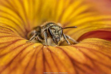 Smeathman's furrow bee (Lasioglossum smeathmanellum), feeding on Wallflower (Erysimum sp.) Monmouthshire, Wales, UK. May