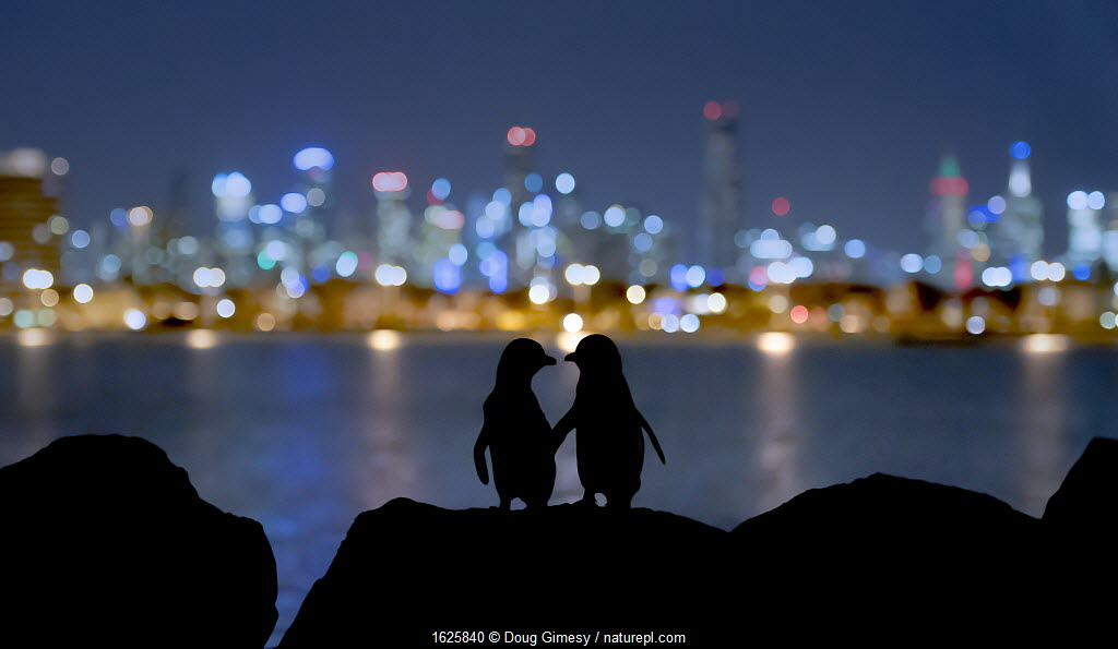 Little blue penguin (Eudyptula minor), two standing on rocks at night, silhouetted against Melbourne city lights. St Kilda breakwater, Victoria, Australia.