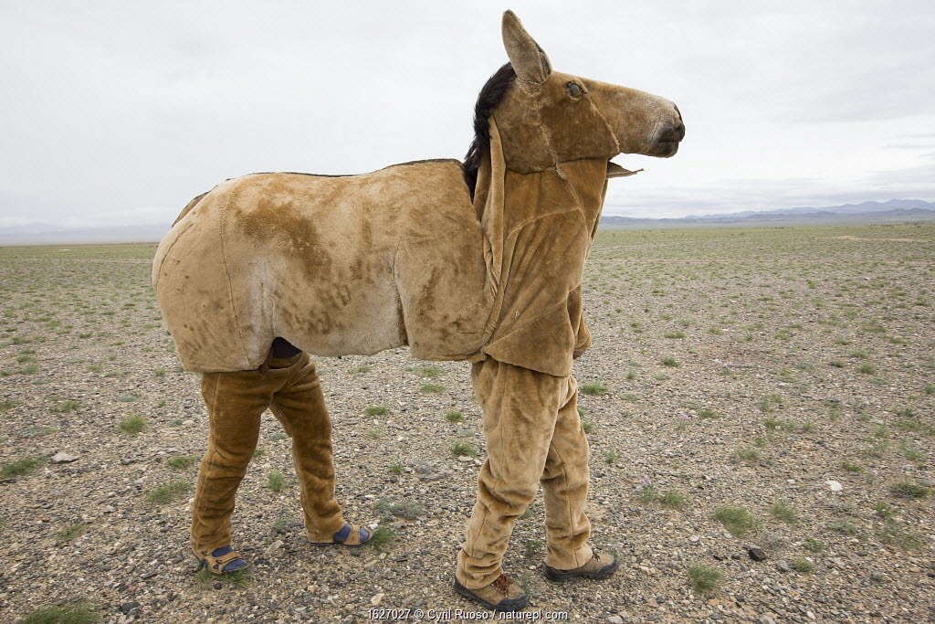 Mongolian wild ass / Khulan (Equus hemionus hemionus) costume prototype unsuccessful in allowing researchers to approach Khulan for scientific purposes. Great Gobi B Strictly Protected Area, Mongolia.