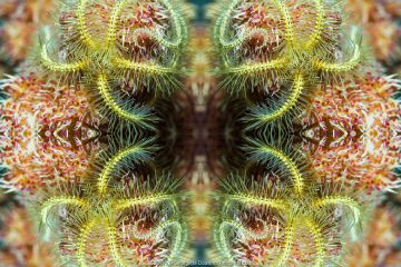 Kaleidoscopic image of brittle star (Ophiothrix sp), North Sulawesi,