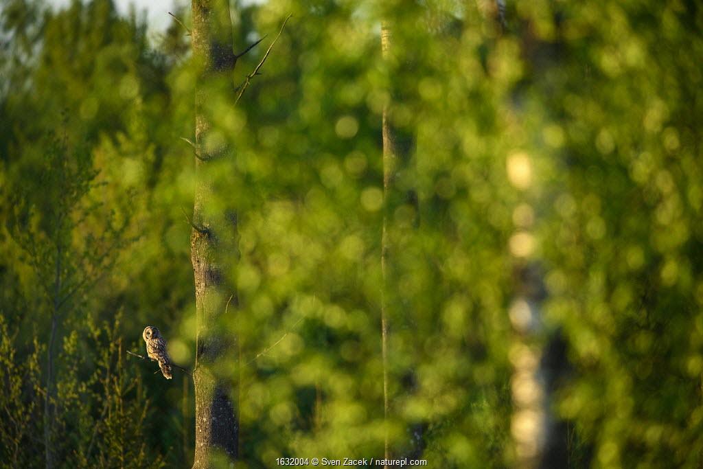 Ural owl (Strix uralensis) perched in Aspen tree in summer. Tartumaa county, Southern Estonia. May.