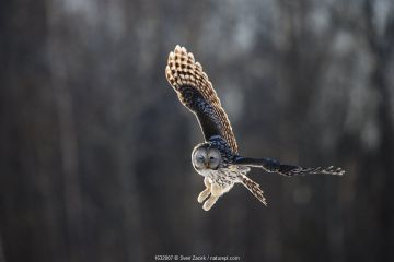 Ural owl (Strix uralensis) in flight, hunting, Tartumaa county, Southern Estonia. February.