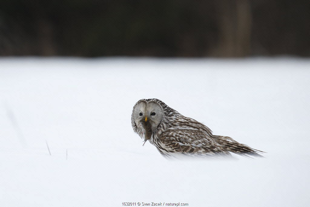 Ural owl (Strix uralensis) feeding on vole in snow, Tartumaa county, Southern Estonia. March.