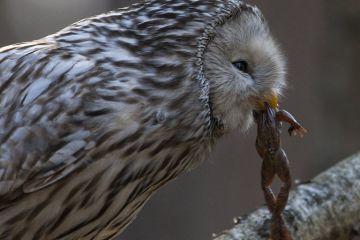 Ural owl (Strix uralensis)with common frog prey, Tartumaa county, Southern Estonia. March.