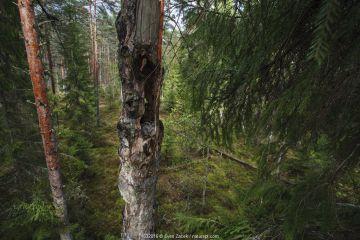 Ural owl (Strix uralensis) in nest in forest habitat, Tartumaa county, Southern Estonia. May.