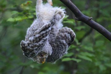 Ural owl (Strix uralensis) fledgling hanging upside down on branch, Tartumaa county, Southern Estonia. June