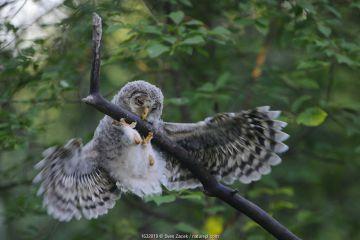 Ural owl (Strix uralensis) fledgling trying to balance itself on a branch, Tartumaa county, Southern Estonia. June