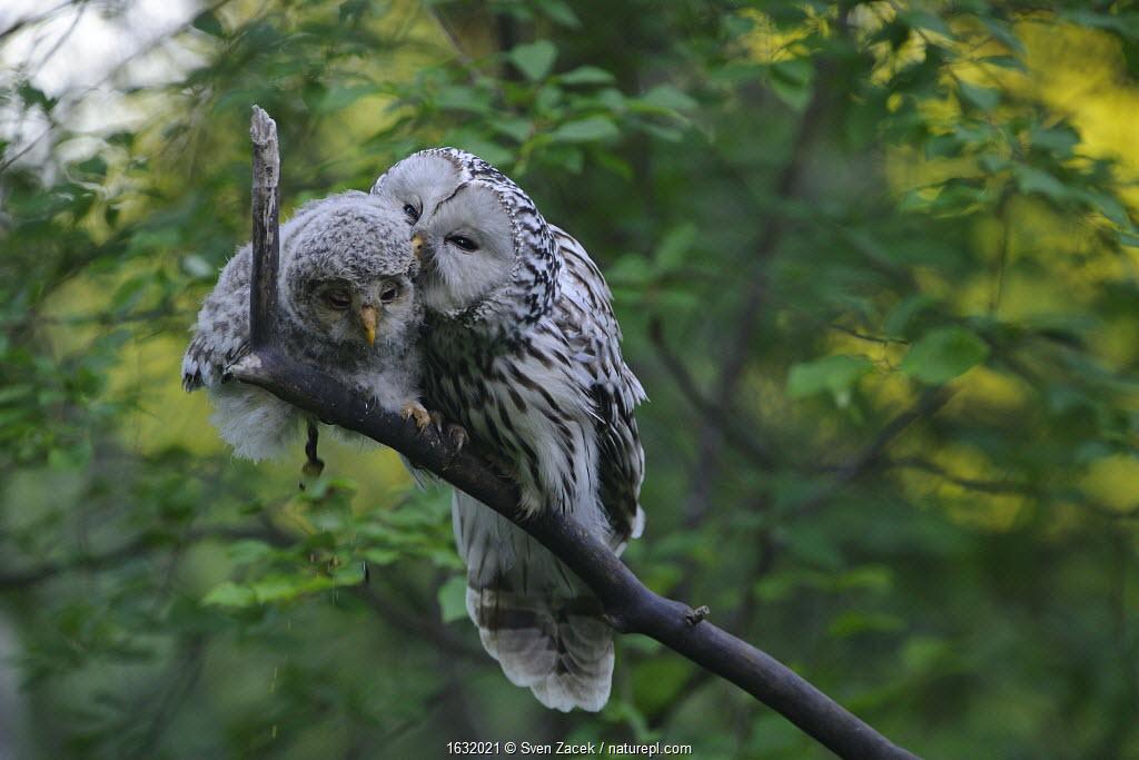 Ural owl (Strix uralensis) female preening its fledgling on a branch, Tartumaa county, Southern Estonia. June
