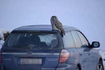 Ural owl (Strix uralensis) on a car, Vorumaa county, Southern Estonia. February.