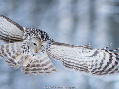 Ural owl (Strix uralensis) hunting, Tartumaa county, Southern Estonia.