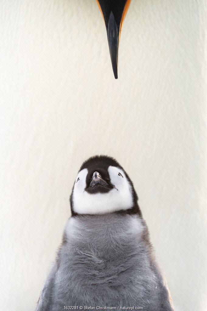 Emperor penguin (Aptenodytes forsteri) chick looking upwards to parents beak. Atka Bay, Antarctica. August. Winner of the Portfolio category of the Wildlife Photographer of the Year Awards 2019.