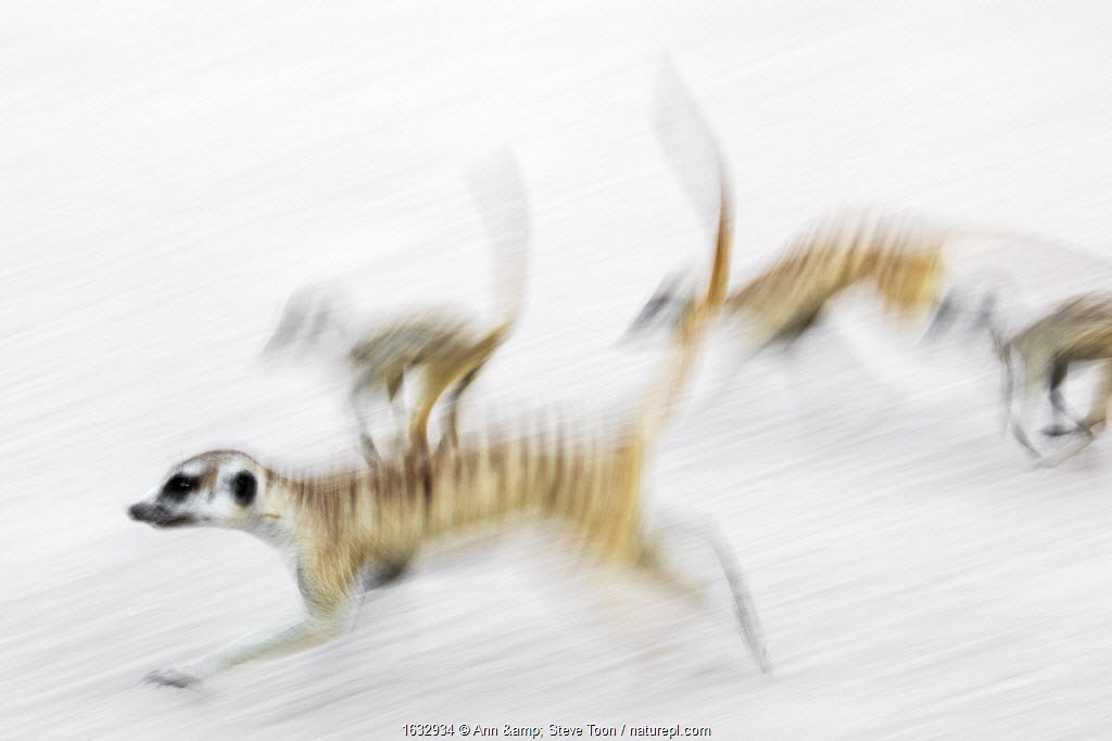 Meerkats (Suricata suricatta) on the move, Kgalagadi Transfrontier Park, Northern Cape, South Africa, January. Second place in the Mammals Category of the GDT European Nature Photographer of the Year Competition 2019.