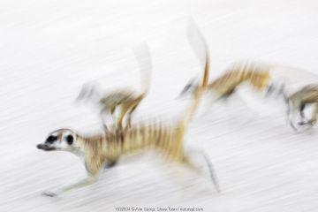 Meerkats (Suricata suricatta) on the move, Kgalagadi Transfrontier Park, Northern Cape, South Africa, January.