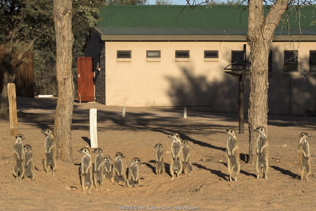 Meerkat (Suricata suricatta) at campsite, Kgalagadi Transfrontier Park, Northern Cape, South Africa.