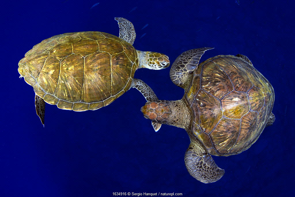 Green sea turtle (Chelonia mydas), two viewed from above. Tenerife, Canary Islands.
