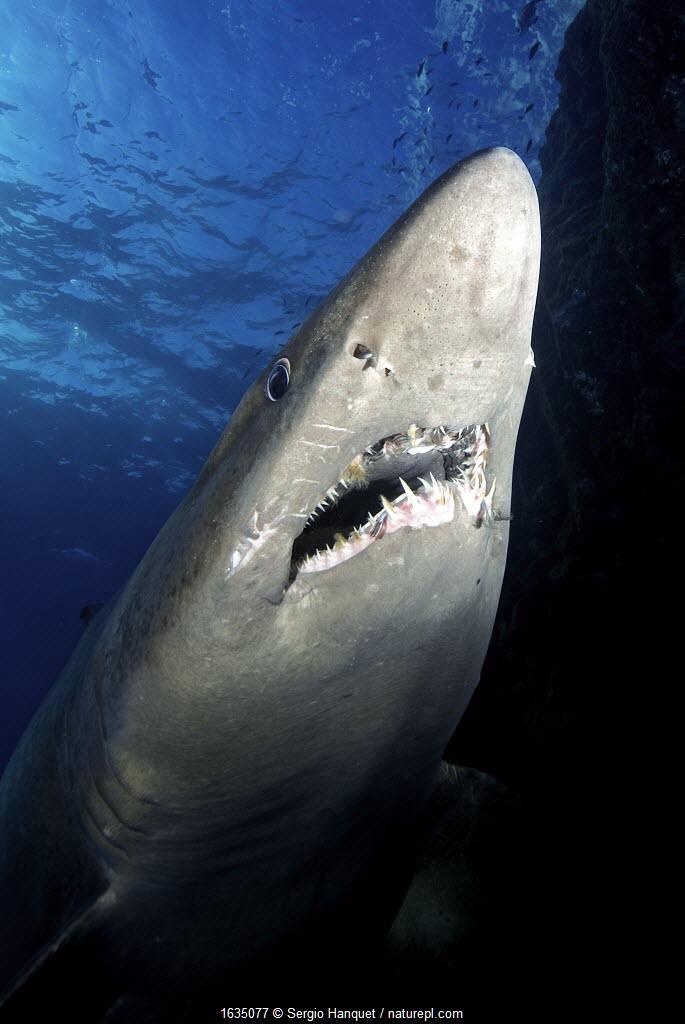 Smalltooth sand tiger shark (Odontaspis ferox), view from below. El Hierro. Canary Islands.