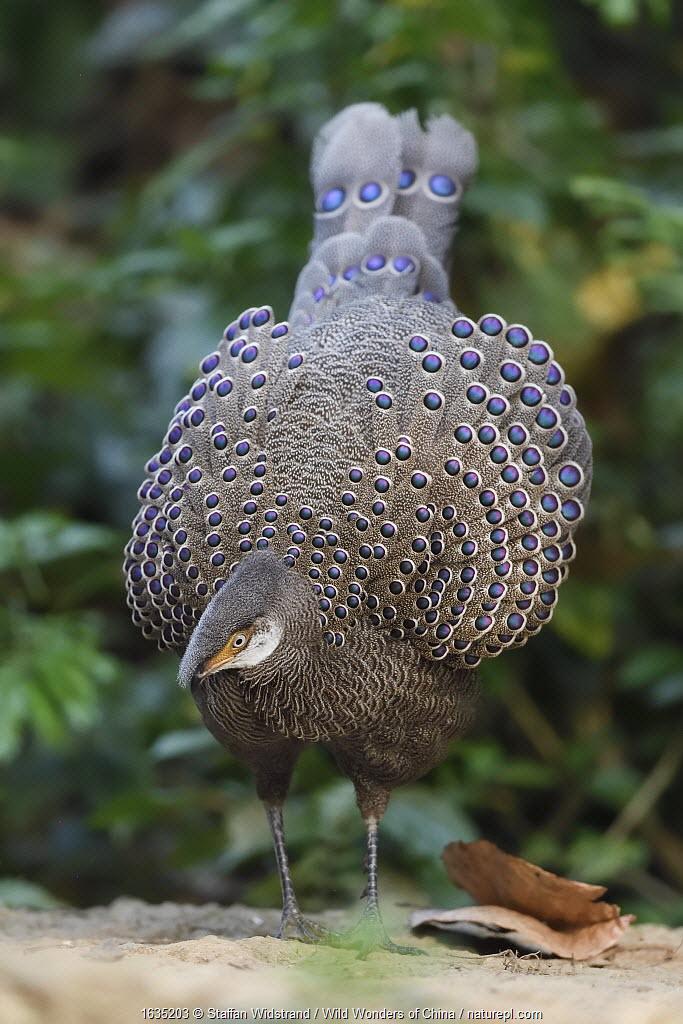 Grey peacock-pheasant (Polyplectron bicalcaratum) Tongbiguan Nature Reserve, Dehong, Yunnan, China.