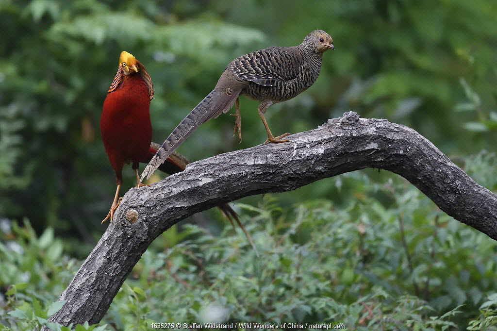 Golden pheasant (Chrysolophus pictus) male and female, Yangxian nature reserve, Shaanxi, China.