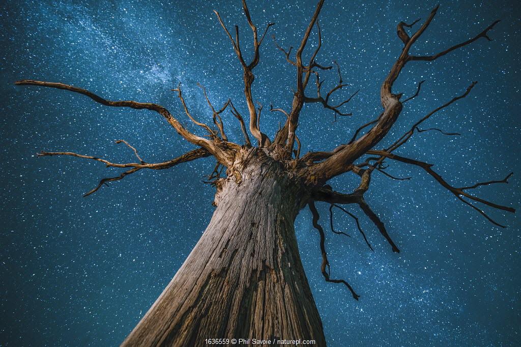 Milky Way over an English oak tree (Quercus robur), at night, Brecon Beacons National Park International Dark Sky Preserve, Wales UK, December.