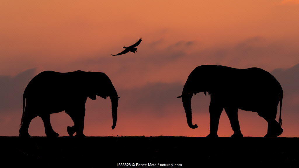 African elephant (Loxodonta africana) two silhouetted at sunset with goose flying overhead, Mkuze, South Africa. Highly commended in the African Wildlife category of the Nature's Best Photography Competition 2019.