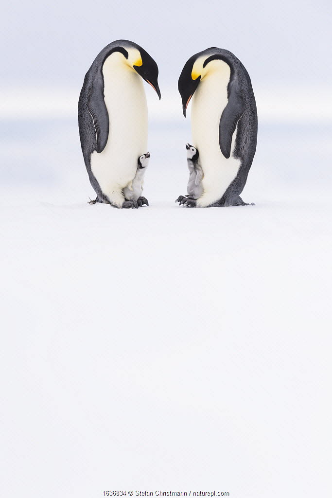 Emperor penguin (Aptenodytes forsteri) two adults brooding chicks age 5 weeks, Antarctica. Highly commended in the Polar Passion Category of the Nature's Best Photography Awards 2019.