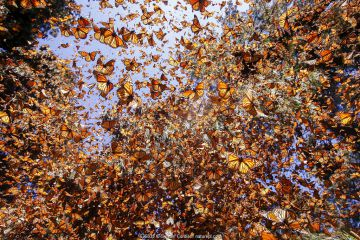 Monarch butterfly (Danaus plexippus) wintering in Oyamel pine forests (Abies religiosa) Monarch Butterfly Biosphere Reserve / Reserva de Biosfera de la Mariposa Monarca UNESCO World Heritage Site, Angangueo, Mexico. Highly commended in Montier photo competition 2019 (other animals section).