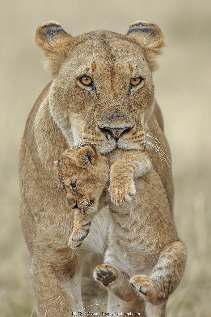 African lion (Panthera leo) female carrying young cub, Masai Mara, Kenya, Africa. Highly commended in the African Wildlife Category of the Nature's Best Photography Competition 2019.