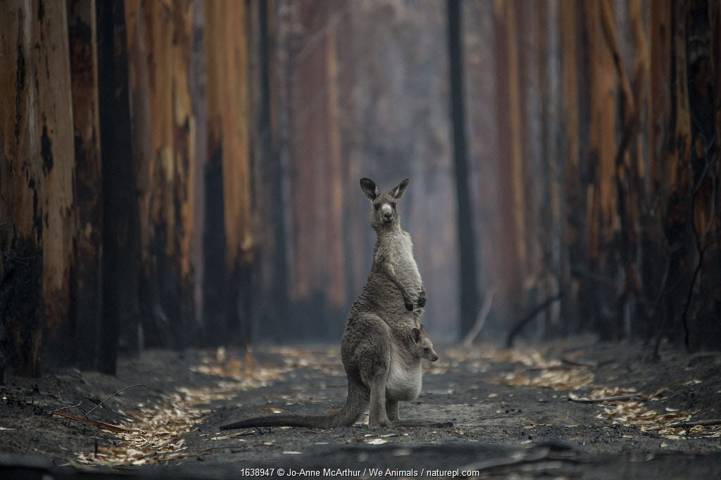 A mother Eastern grey kangaroo (Macropus giganteus) and her joey, surrounded by burnt trees. Survivors of a bushfire in Mallacoota, Australia, January 2020.