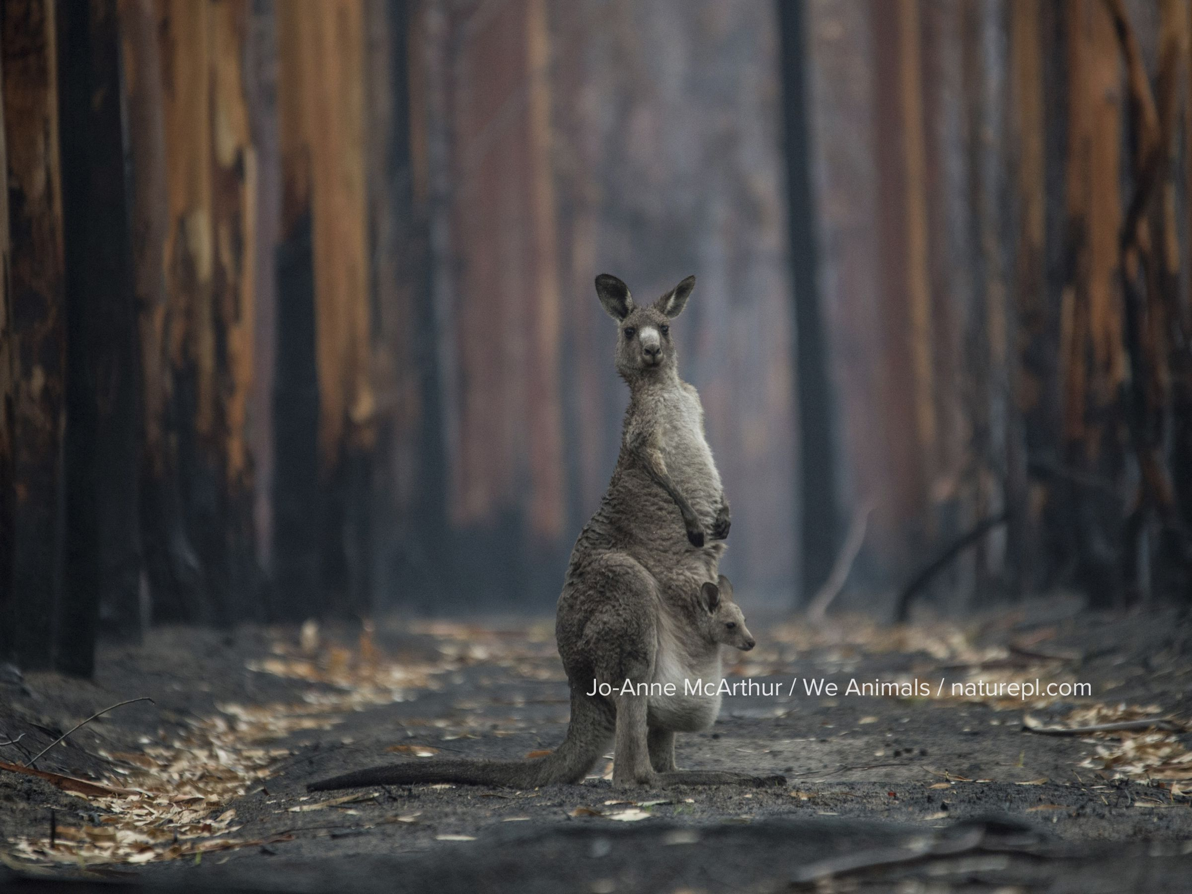 A mother kangaroo and her joey, survivors of a forest fire / bushfire in Mallacoota, Australia. January 2020