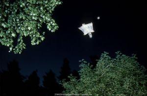 Siberian flying squirrel in flight {Pteromys volans} Finland