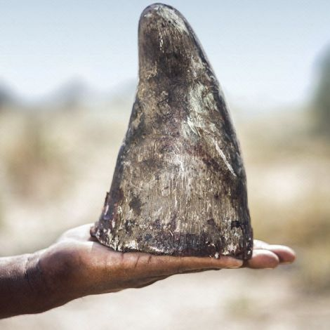 White rhinoceros (Ceratotherium simum) horn held in human hand. Rhino horn is trafficked illegally to the Far East to be used in Traditional Chinese Medicine and to feed demand from those who see it as a desirable status symbol. Rhino horn has no medicinal properties.