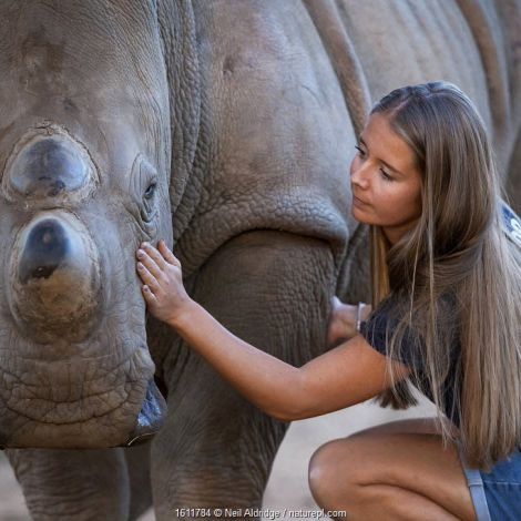 White rhinoceros (Ceratotherium simum) orphaned calf is comforted by its foster mother - a British veterinary nurse, at the Rhino Revolution wildlife rehabilitation centre near Hoedspruit, South Africa. May 2017.