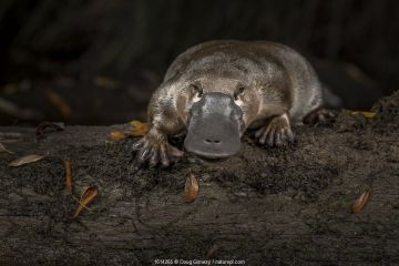 Platypus (Ornithorhynchus anatinus), released onto a log in Little Yarra River, Yarra junction, Victoria, Australia. Photographed under controlled conditions. April 2018.