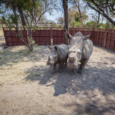 White rhinoceros (Ceratotherium simum) mother and calf prepare to leave a boma - a secure enclosure - in the Okavango Delta, northern Botswana, after being translocated from South Africa as part of efforts to rebuild Botswana's lost rhino populations.