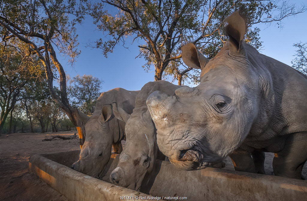 Orphaned White rhinoceros (Ceratotherium simum) calves feed from a trough at dusk at the Rhino Revolution orphanage near Hoedspruit, South Africa. The mothers of these rhinos were killed by poachers for their horns.