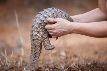 Vet picking up a young orphaned Temminck's Ground Pangolin (Smutsia temminckii) during its rehabilitation at the Rhino Revolution facility in Limpopo Province, South Africa.