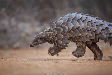 Temminck's ground pangolin (Smutsia temminckii) foraging during a soft release from the Rhino Revolution rehabilitation facility in South Africa.
