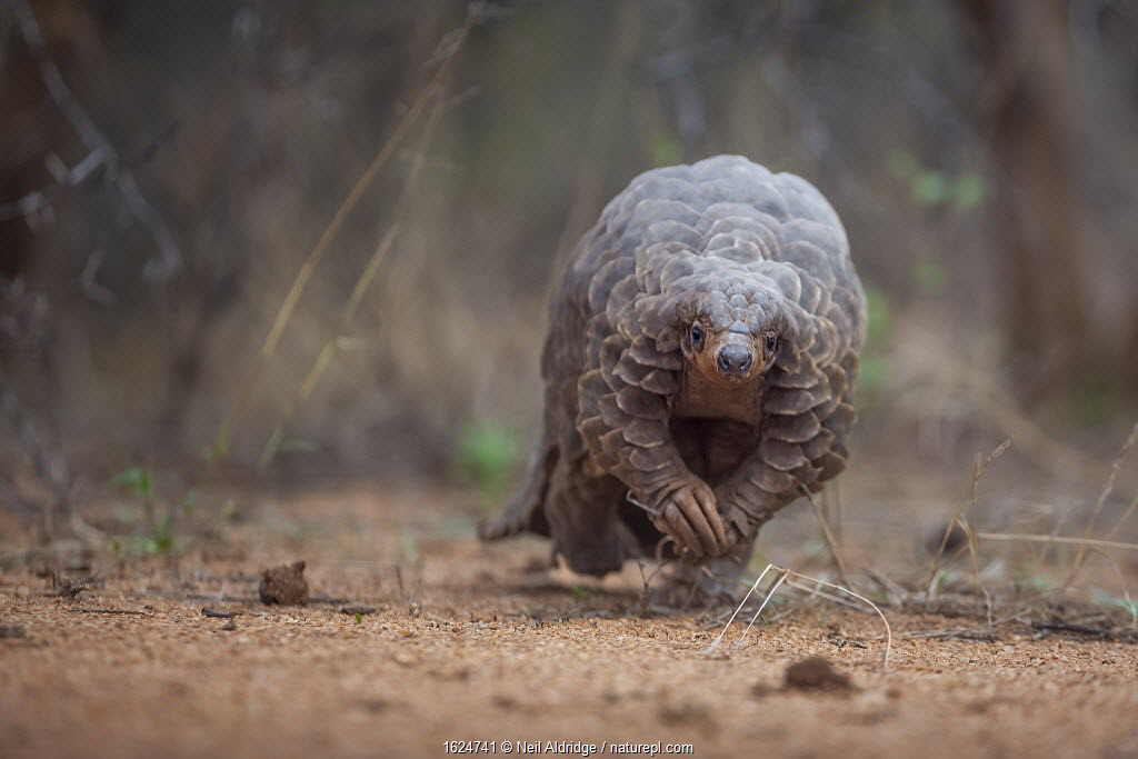 Temminck's ground pangolin (Smutsia temminckii) forages during a soft release from the Rhino Revolution rehabilitation facility in South Africa.