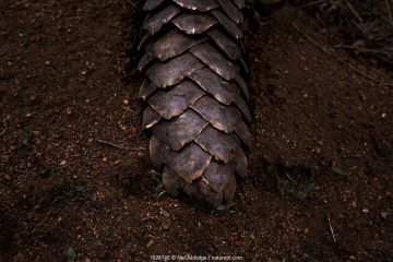 Tail of an adult Temminck's Ground Pangolin (Smutsia temminckii) showing the scales that make pangolins the world's most illegally trafficked mammal.