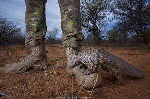 Orphaned Temminck's ground pangolin (Smutsia temminckii) climbs on to the boot of an anti-poaching guard while foraging during rehabilitation at the Rhino Revolution facility in South Africa.