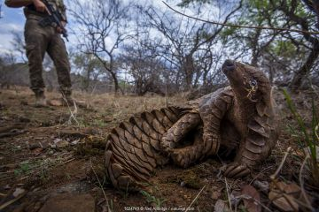 Anti-poaching guard keeps watch over an adult Temminck's Ground Pangolin (Smutsia temminckii) as it reclines in the shade to cool down