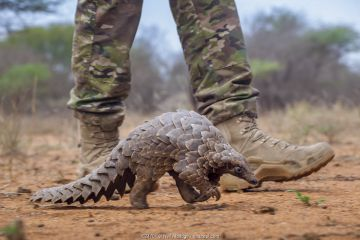 Anti-poaching guard walking alongside an adult Temminck's ground pangolin