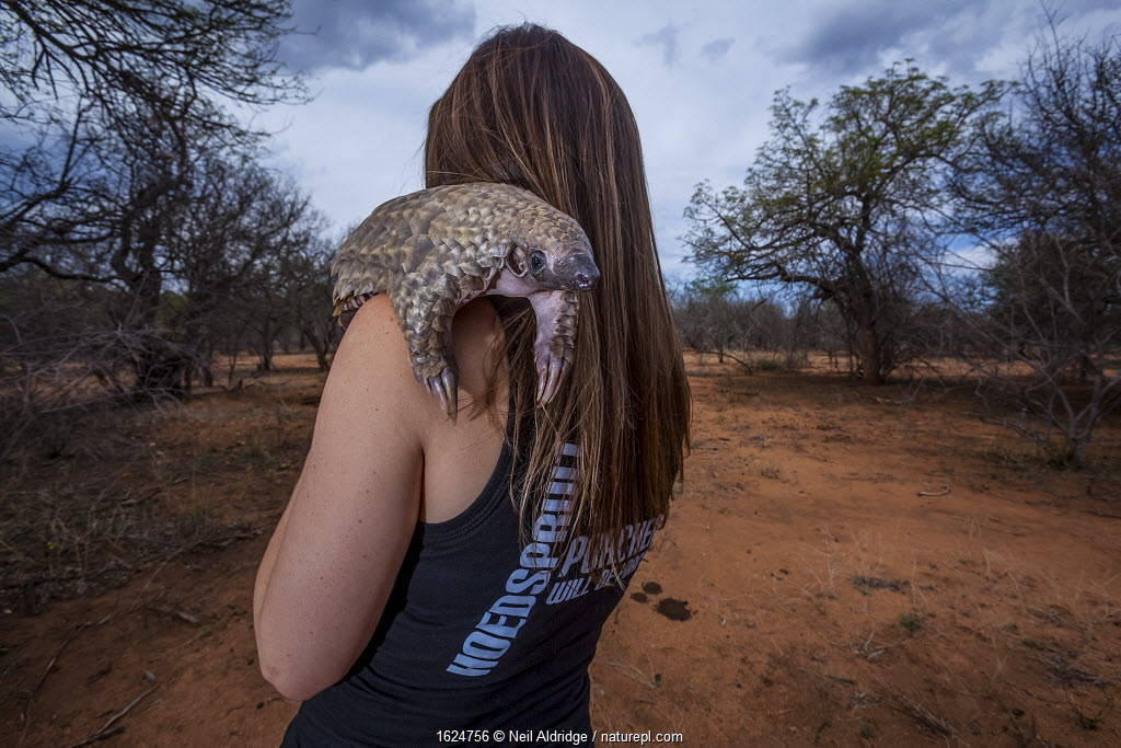 Vet carrying an orphaned Temminck's ground pangolin (Smutsia temminckii) on an evening forage to teach the young animal to find ants during its rehabilitation at the Rhino Revolution facility in South Africa.