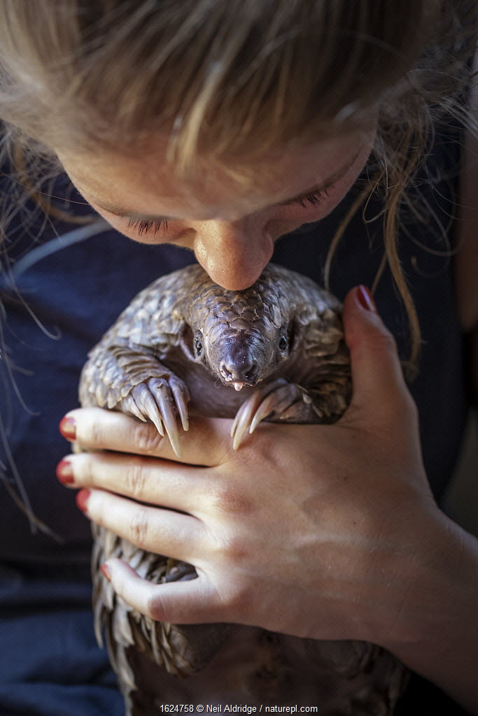Vet cradling a young orphaned Temminck's ground pangolin (Smutsia temminckii) during its rehabilitation at the Rhino Revolution facility in Limpopo Province, South Africa.