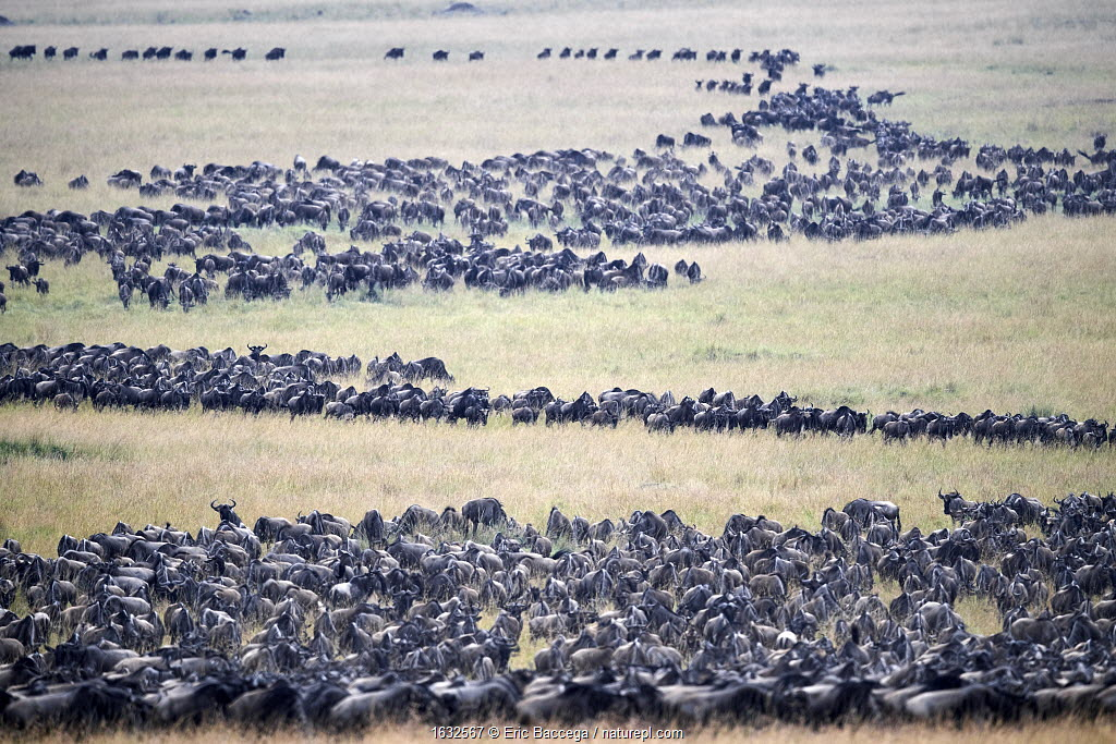 Eastern White-bearded Wildebeest (Connochaetes taurinus) migrating herds, Masai Mara National Reserve, Kenya.