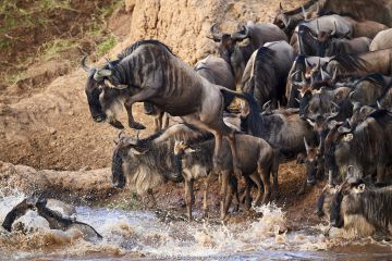 Eastern White-bearded Wildebeest (Connochaetes taurinus) jumping into Mara river on migration, Masai Mara National Reserve, Kenya.