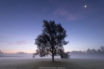 Goat willow (Salix caprea) in mist at dawn, full moon in sky. Klein Schietveld, Brasschaat, Belgium. August 2019.