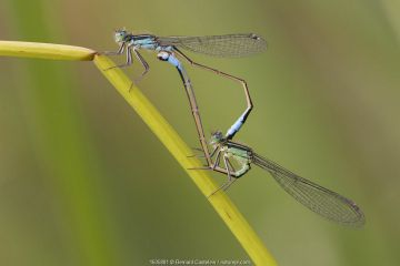Blue-tailed damselfly (Ischnura elegans) pair mating on stem. Brasschaat, Belgium. August.