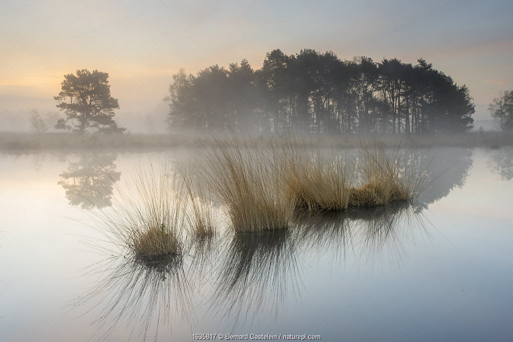 Tussocks and trees reflected in water on misty morning. Klein Schietveld, Brasschaat, Belgium. April